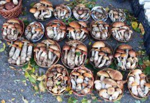 Сбор грибов – тихая охота в Карпатах