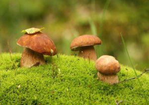 Збір грибів - тихе полювання в Карпатах