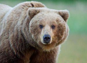 Приют для бурых медведей