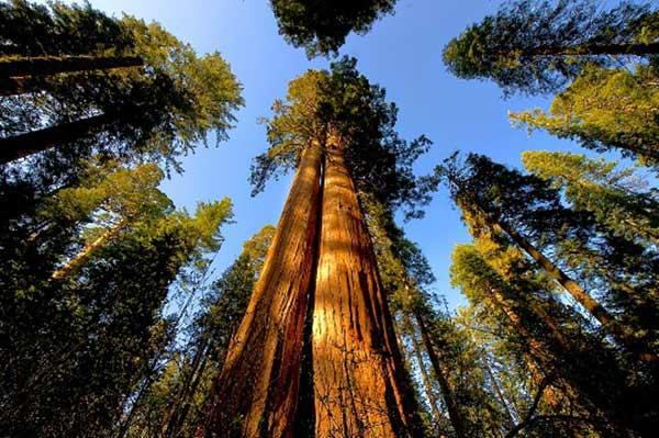 мамонтові дерева мамонтовые деревья